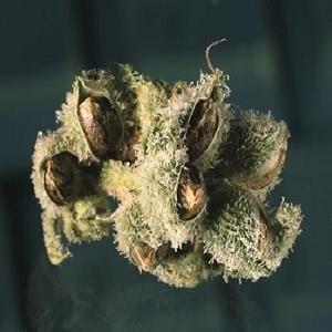 marijuana-seeds