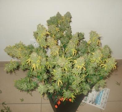 Een goed gesnoeide plant levert meer op. Foto: Dutch-Passion