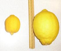 Een plaatje van de website van Sonic Bloom, de linker citroen is in stilte gekweekt...