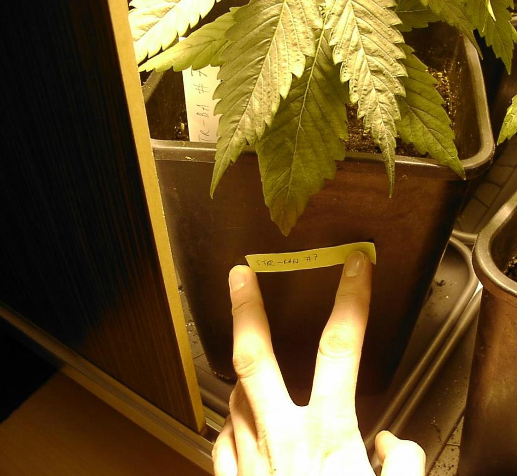 Strawberry-banana plant 24 days old