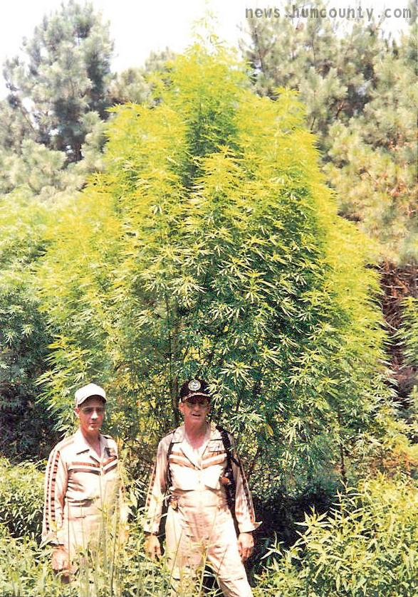 gigantic_outdoor_marijuana_plant