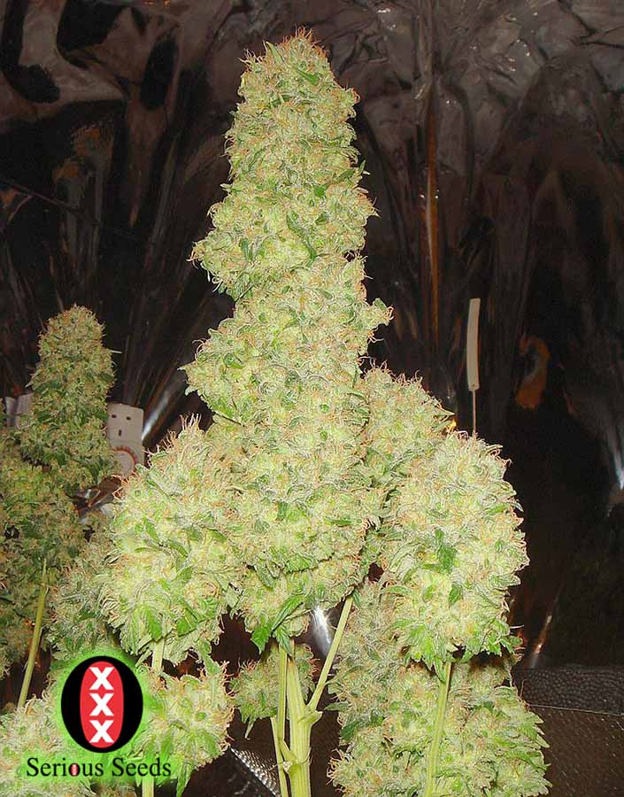 serious_seeds_chronic