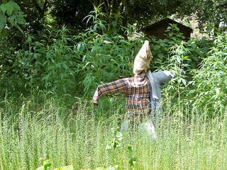 Een vogelverschrikker bewaakt een veld met industriële hennep in Noord-Frankrijk