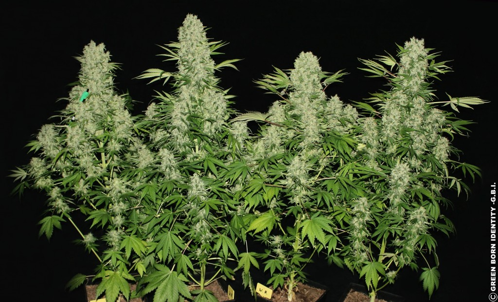 white_russian_4_plants_from_seed_60days