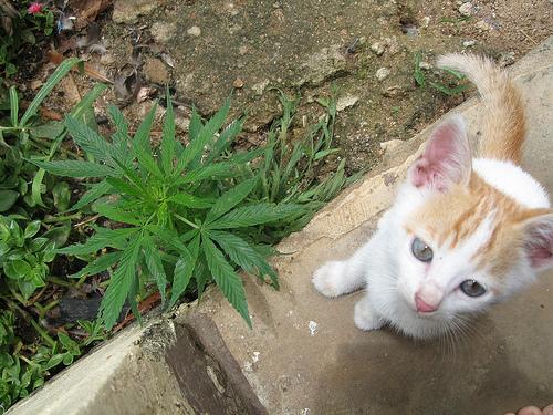 Cannabis komt in veel regio's van Tanzania in het wild voor en wordt daarnaast op grote schaal geteeld