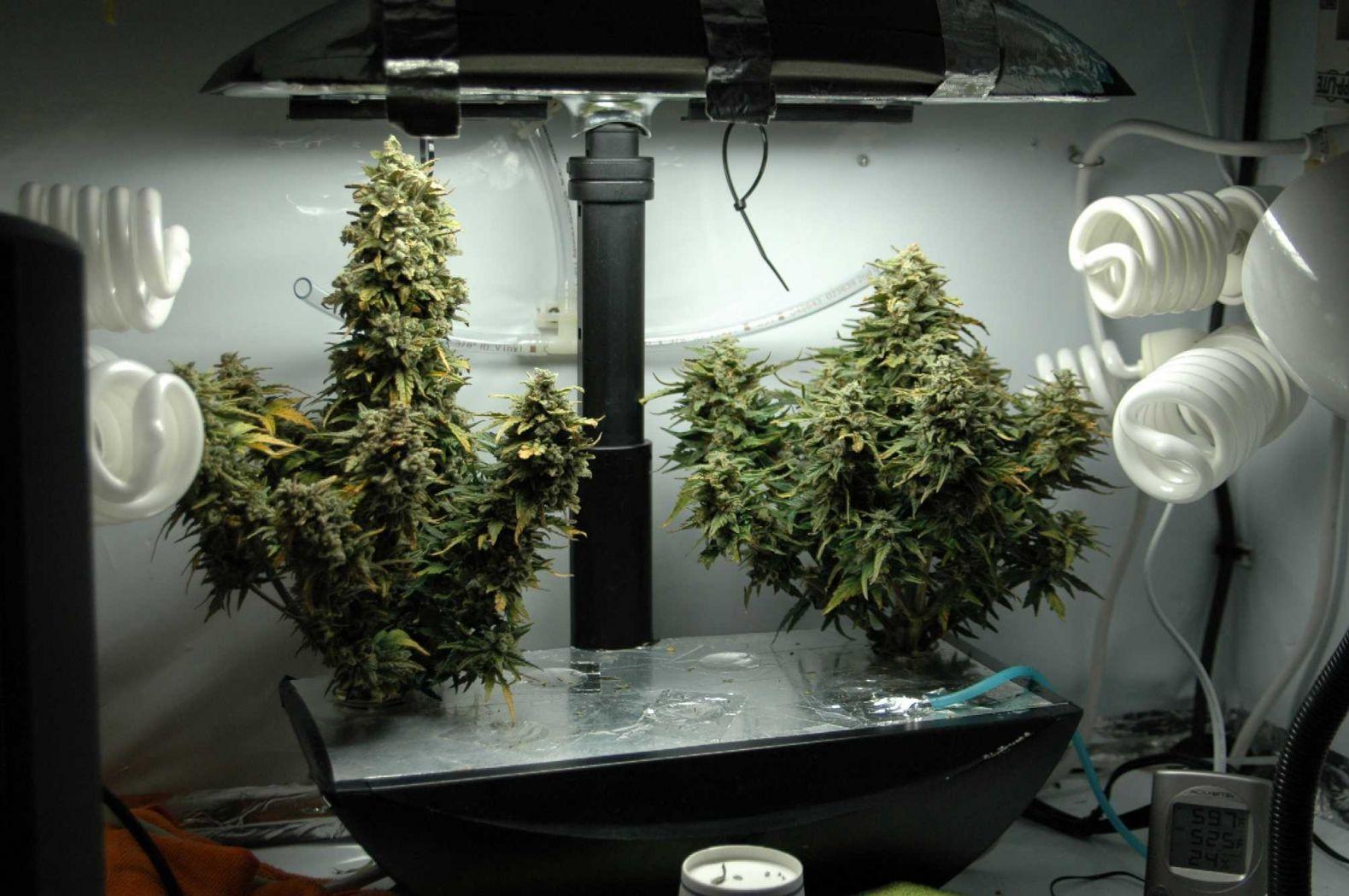 Выращивание конопли гидропоники в домашних условиях как с конопли пыль выбивать