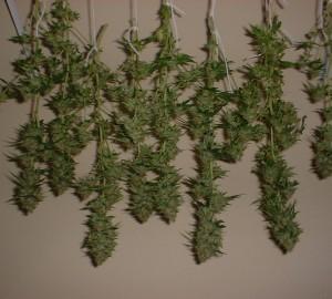 hang-drying-cannabis