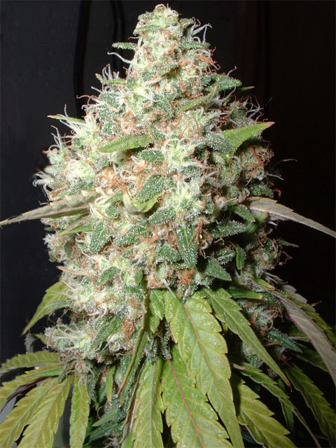 bubble_cheese_seeds