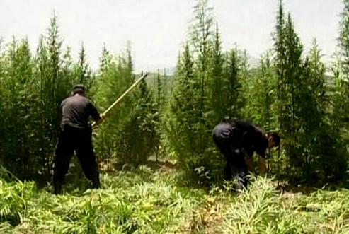 Dit zien we dus niet meer in Albanië, hardwerkende wietboeren aan het oogsten...