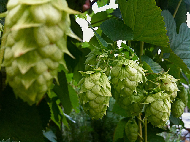 Hop - humulus lupulus - is al eeuwen het favoriete ingrediënt om smaak en bitterheid aan bier toe te voegen