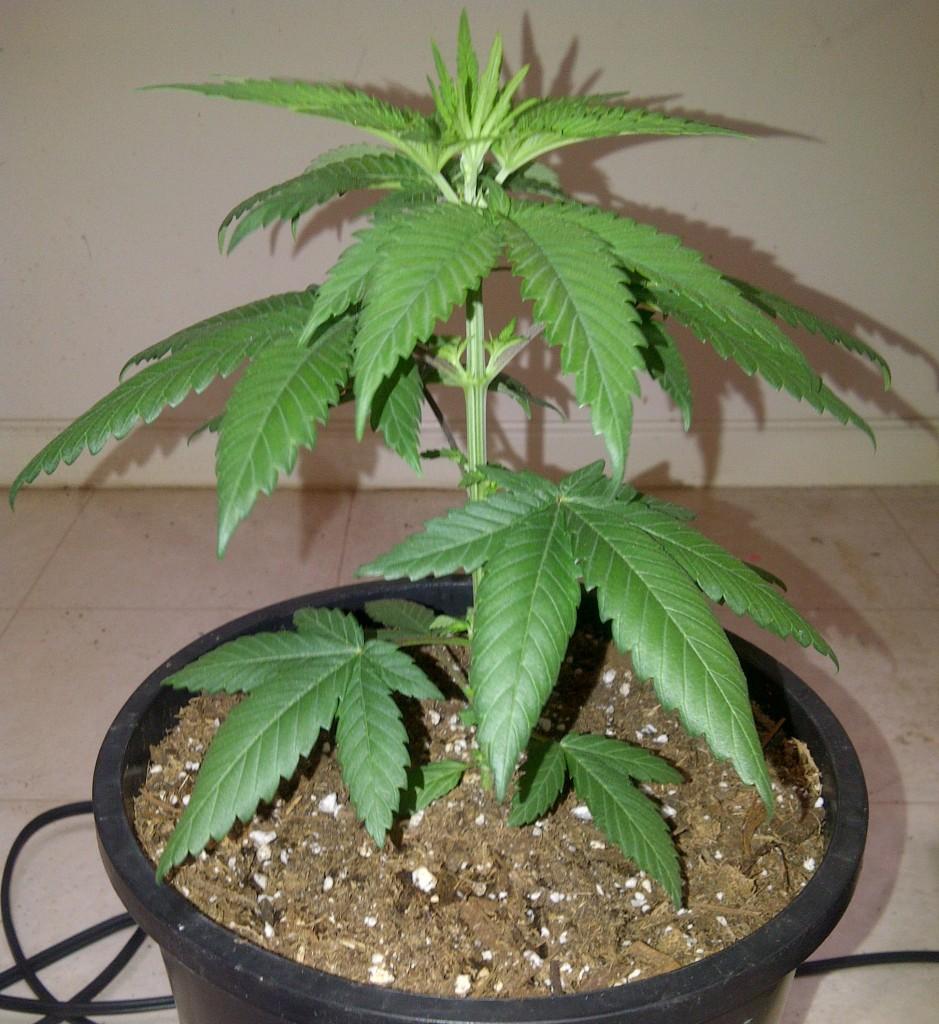 Een plant die een week of drie oud is, het ideale moment om de klok om te zetten