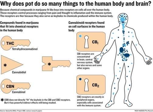 Schematische weergave van hoe cannabinoiden werken op het menselijk lichaam en brein