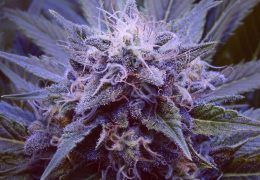 Purple Haze #1