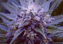 Purple Haze #1
