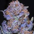 Zo kweek je de mooiste paarse wiet