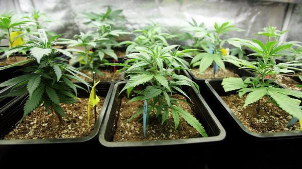 Zolang je niet grootschalig en professioneel wiet kweekt, heeft de growshop-wet geen betrekking op jou