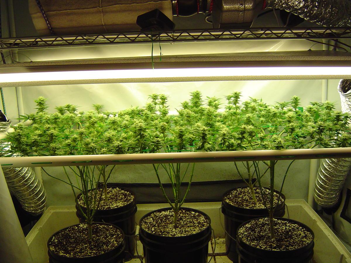Гидропоника технология выращивание марихуана плантацию новость конопли про