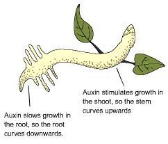 plant auxin