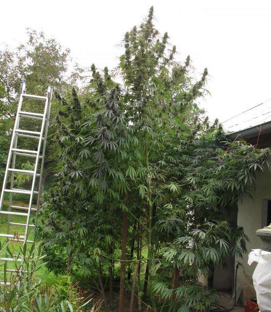 Grote Potplanten Voor Buiten.Buiten Wiet Kweken Zonder Moeite Cnnbs Nl