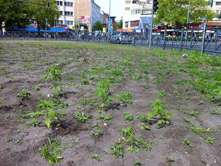 De betreffende rotonde in Berlijn, met nog wat schamele restanten van de 700 wietplanten