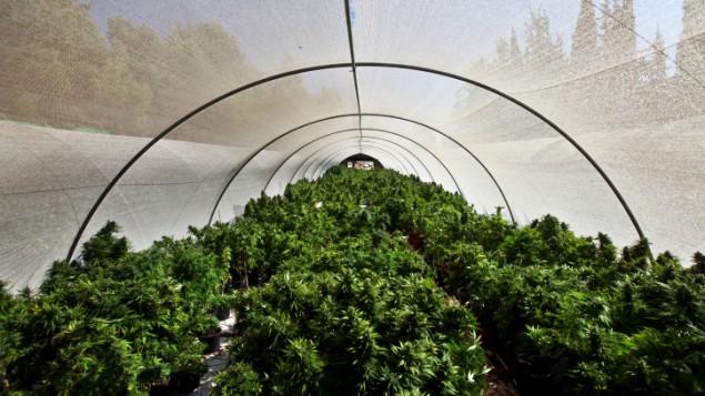 Israel polytunnel grow