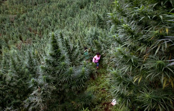 Een wietveld in de bergen van Colombia. Tot 20 planten voor eigen gebruik is er nu gedecriminaliseerd