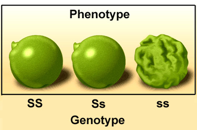 genofeno
