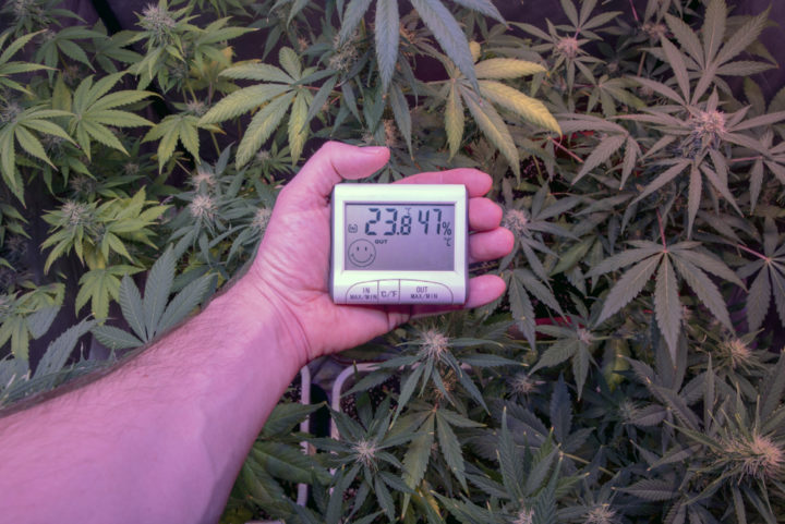 cannabis temperatuur