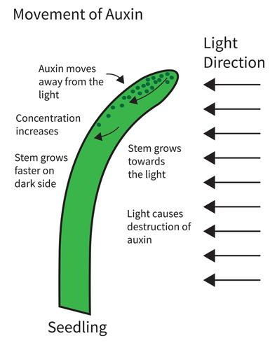 Auxine zorgt ervoor dat een plant naar het licht groeit. Beeld: photoiconix, Shutterstock.com