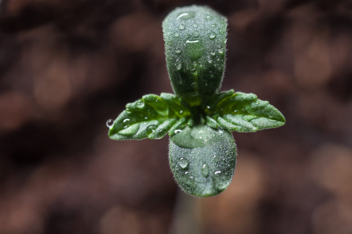 cannabis genetica