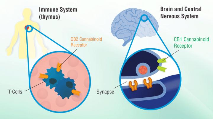 immune-system-brain