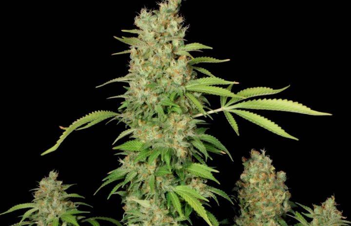 Het gehalte aan CBD is genetisch bepaald, op de foto de wietsoort CBD Chronic van Serious Seeds met een 1 op 1 verhouding aan CBD en THC.