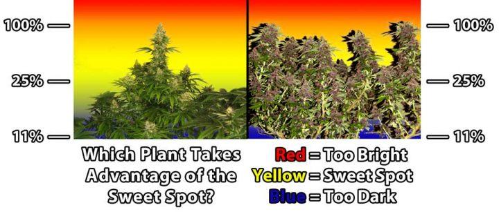 natural-vs-lst-cannabis-sweet-spot