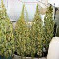 Barney stopt: terugblikken op 4 jaar wiet kweken