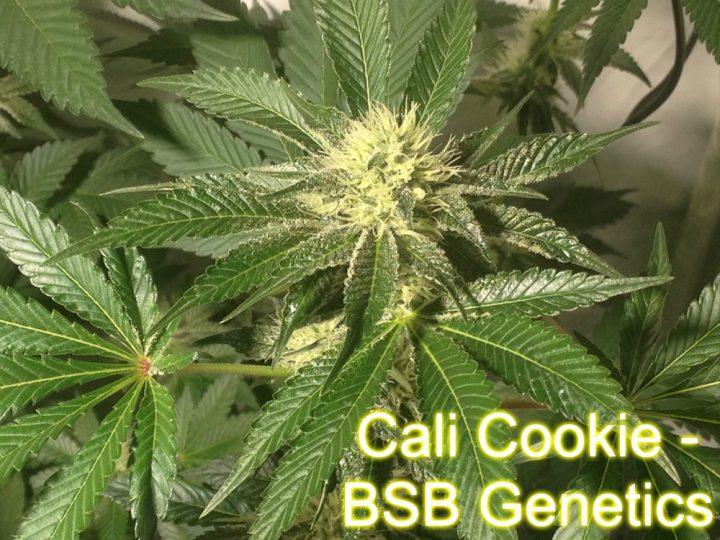 Cali Cookie - BSB Genetics