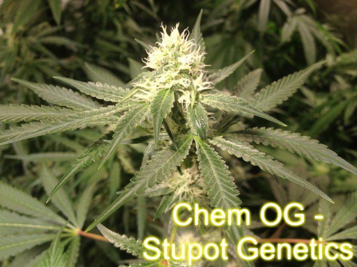 Chem OG - Stupot Genetics