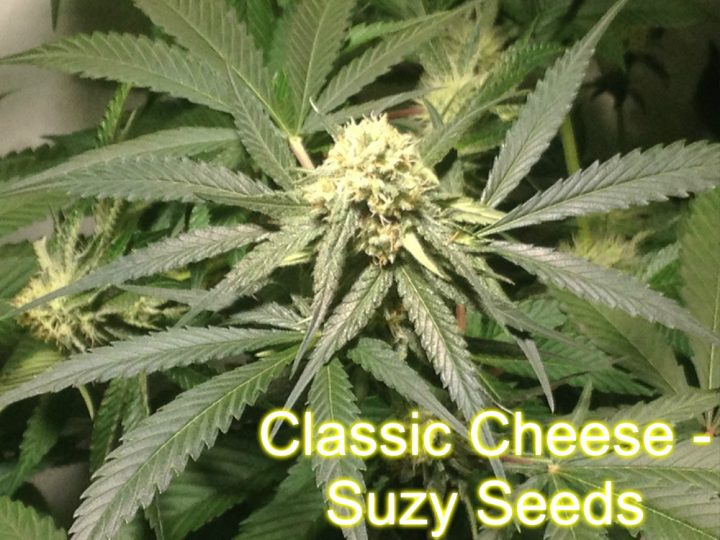 Classic Cheese - Suzy Seeds