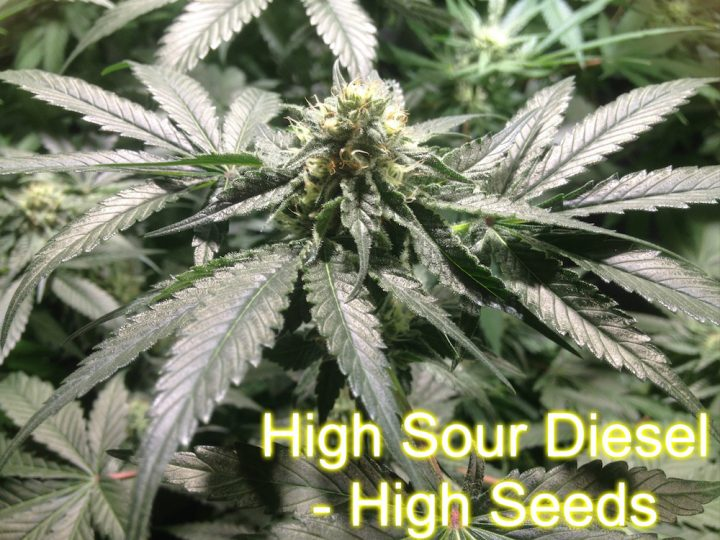 High Sour Diesel - High Seeds