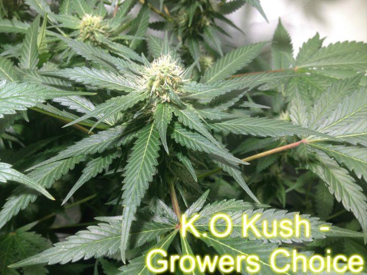 K.O Kush - Growers Choice