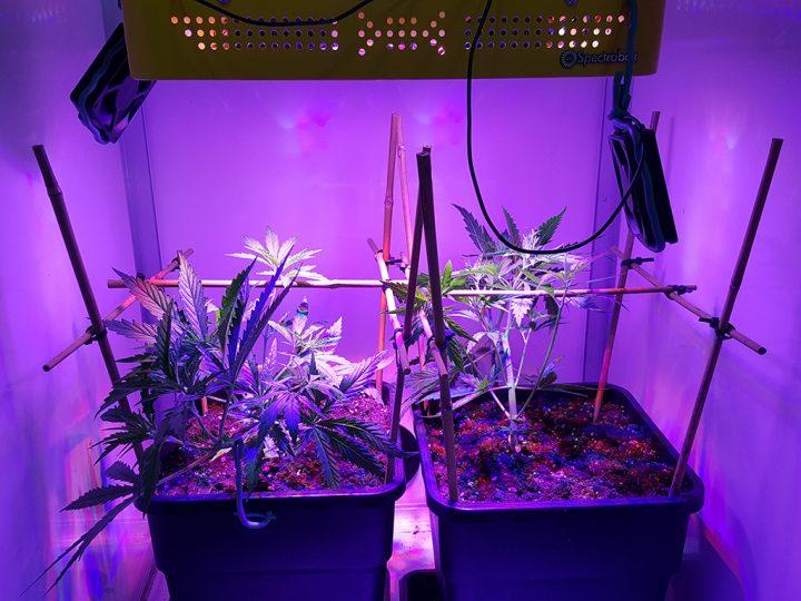 En zo staan de planten er na vier weken groeien bij.