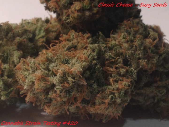 Classic Cheese #bud2 Suzy Seeds