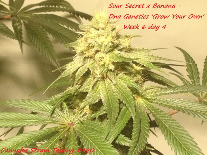 Sour Secret x Banana - Dna Genetics 'Grow Your Own'