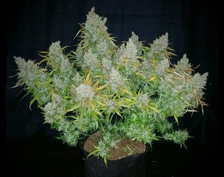 Het eindresultaat: een bossige plant met vele dikke cola's én een knaller van een hoofdtop!