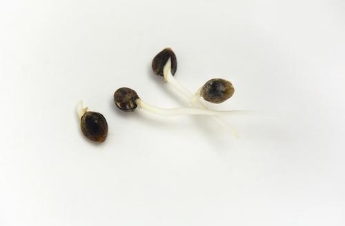 Wietzaden ontkiemen is makkelijk en je hebt een oneindige keus in soorten. Foto: Marta Cobos, Shutterstock.com