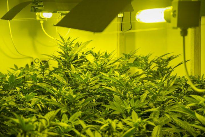 Tilburgse mediwietpatiënten mogen voortaan onder bepaalde voorwaarden zelf hun eigen wiet kweken. Foto: OSSOBUKO, Shutterstock.com
