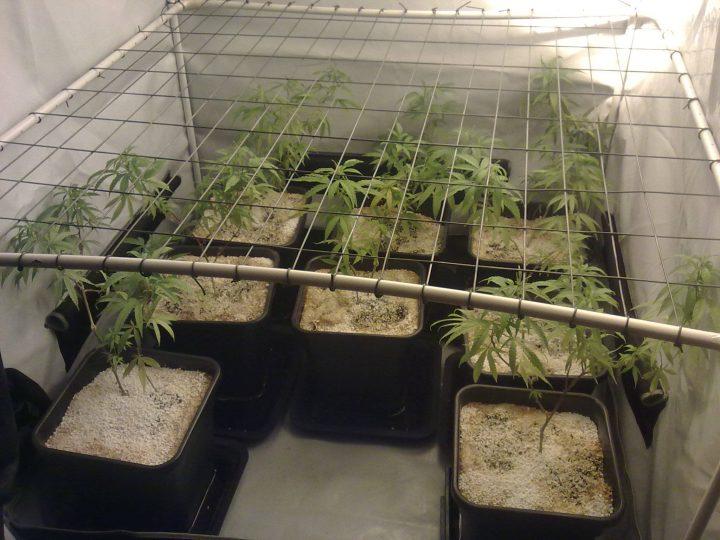 Een SCROG-rek voor al je planten kan onhandig zijn als een van de (achterste) planten plotseling uit de kast of tent moet.
