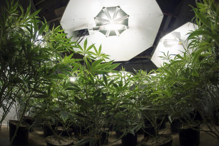 Levert het plotseling in- en uitschakelen van kweeklicht stress voor wietplanten op? Foto: OpenRangeStock, Shutterstock