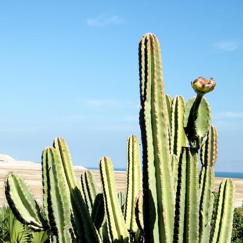 In de natuur kunnen San Pedro cactussen wel 6 meter hoog worden. Foto: emkaplin, Shutterstock