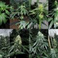 De cannabis bloeifase van week tot week