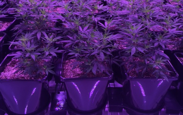rsz-cannabis-plants-growing-in-xl-autopots-640x401